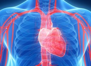 What Are the Functions of the Cardiovascular System